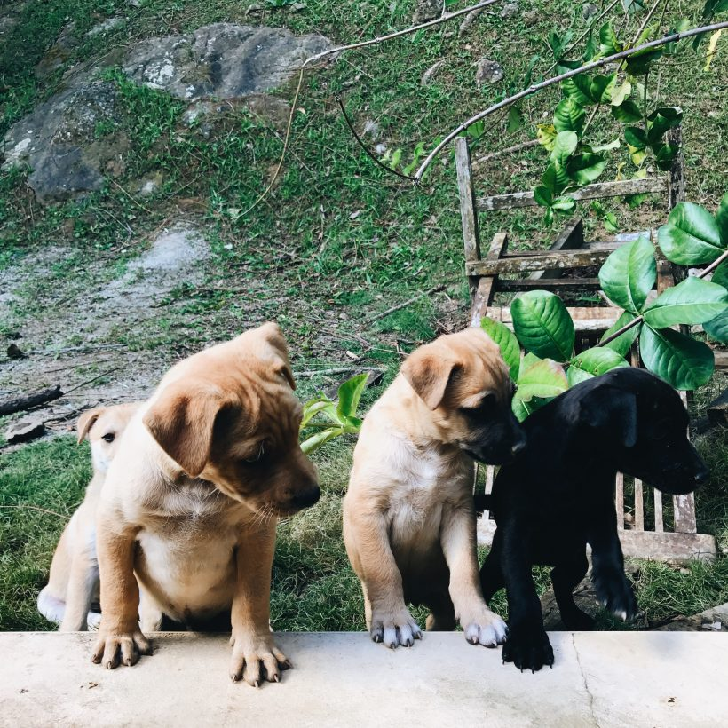 Puerto Rico Puppies